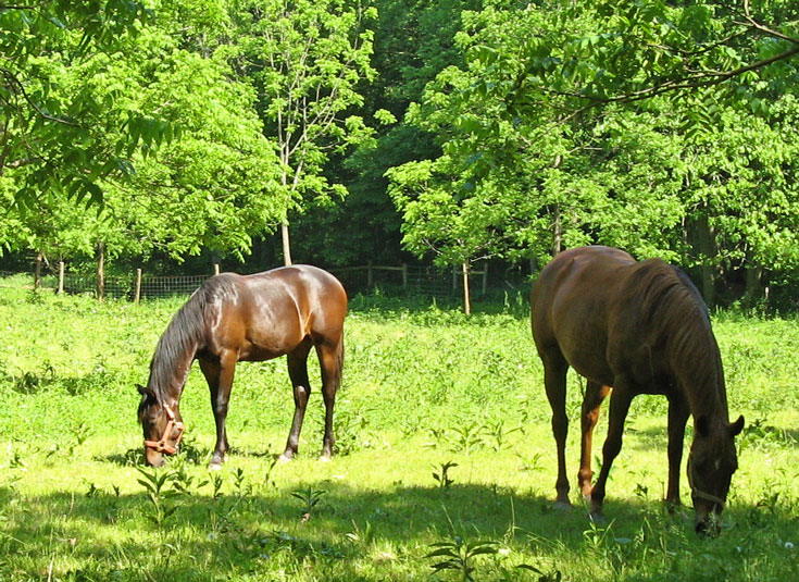 Horses graze on Beeappy Farm