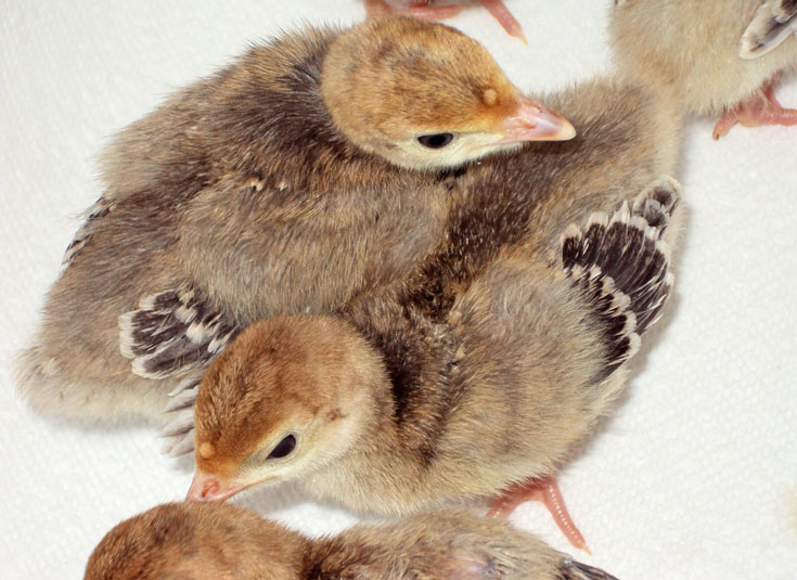 Heritage turkey poults from Beeappy Farm